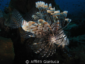 lionfish by Afflitti Gianluca 
